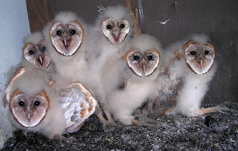 Photo: Barn owlets have now got their heart shaped owl face