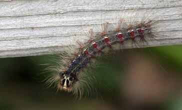 Photo: Gypsy Moth Larvae
