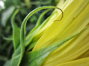 Photo: Curl of a sunflower at Carriage Hill Metropark in Dayton, Ohio.