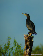 Photo: Neotropic Cormorant; Rancho Primavera, near Tuito, Jalisco