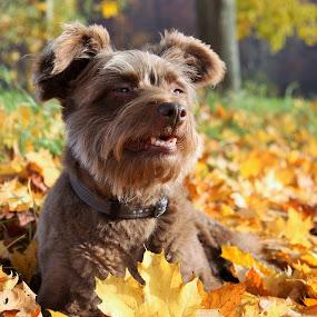 autumn portrait by Carola Mellentin - Animals - Dogs Portraits ( autumn, outdoor, fall, dog portraits, leaves, dog,  )