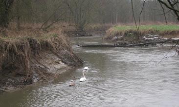 Photo: Zwanen op de Dijle