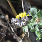 White Patched Skipper