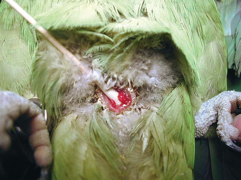 A 22-year-old yellow-naped Amazon parrot with a history of depression, weakness and inappetence
