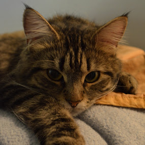Pretty Kitty by H. Ava-Lyn Smith - Animals - Cats Portraits ( kitten, cat, maine coon, kitty )