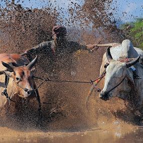 cow race  by Zairi Waldani - Sports & Fitness Rodeo/Bull Riding