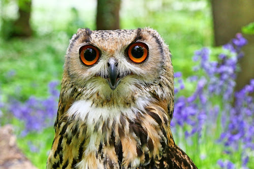Bengal Eagle Owl by Mandy Hedley - Animals Birds ( eagle, wood, owl, bengal, bluebells,  )