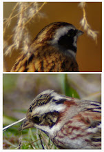 Photo: 1082 撮影者:登坂久雄 鳥名:カシラダカ 両方ともカシラダカだと思います。  左もカシラダカだと思う根拠: (1)頭の羽毛がやや逆立っていること (2)頭部の真後ろに白い羽毛がはっきりと見えていること (3)腰の部分の羽毛の色がえび茶色で周囲が白く縁取られていること ホオジロとカシラダカの後頭部が見える写真を張っておきます。