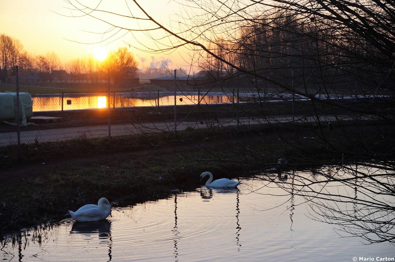 Zwanen in zonsopgang
