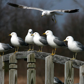 Gulls by Bruce Arnold - Animals Birds (  )