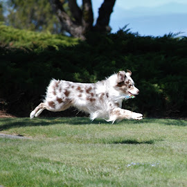 by Gloria Trice - Animals - Dogs Playing (  )