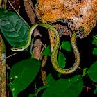 Giant Parrot Snake / Azulão-Boia / Lora