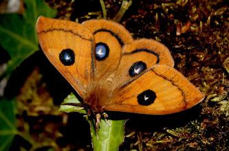 Photo: Aglia tau    Lepidoptera > Saturnidae