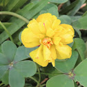 Bermuda buttercup of double leaf. Vinagrillo de hoja doble