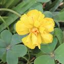 Bermuda buttercup of double leaf. Vinagrillo de hoja doble