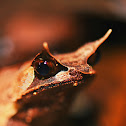 Borneo horned frog