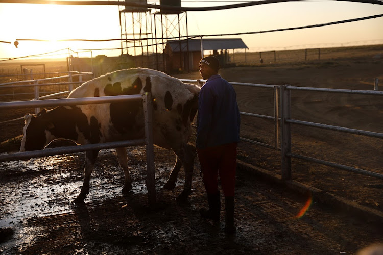 A worker on a dairy farm in Bultfontein, Free State.