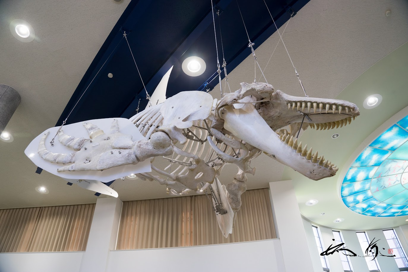7mを超える国内最大級のシェチ骨格標本