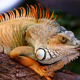 Red iguana by Gérard CHATENET - Animals Reptiles