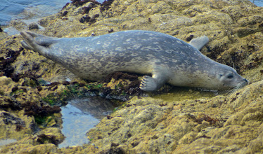 Photo: 73. Here's a harbor seal taking a little rest.