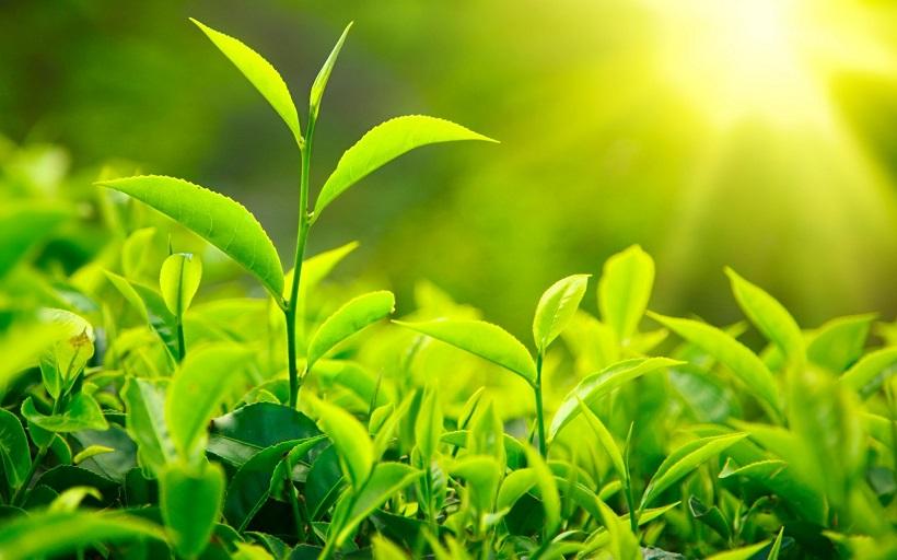 Lá trà xanh không chỉ giúp trắng da còn có tác dụng thanh nhiệt, giải độc