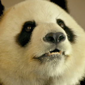 wang wang by Aimee Osborne - Animals Other ( bear, panda, black and white, cuddly, teeth )