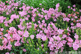 Photo: 拍攝地點: 梅峰-溫帶花卉區 拍攝植物: 風鈴草 拍攝日期: 2014_04_16_FY