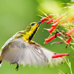 Sunbird searching for nectar by Mann Renzef - Animals Birds ( animals, wildlife, birds )