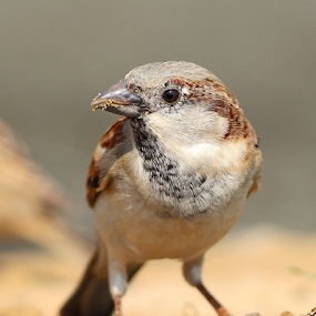 House sparrow by Nelson Thekkel - Animals Birds (  )