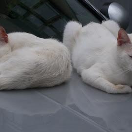Котки by Georgi Kolev - Animals - Cats Kittens ( котки., кола., бял., ден., светлина. )