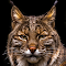 bobcat1.jpg