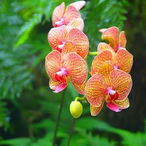 Hawaiin orchids.jpg