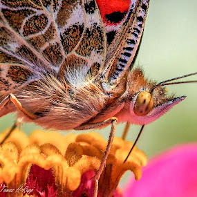 Painted Lady by Tomas Rupp - Animals Insects & Spiders ( macro, nature, butterfly, insect, wildlife )