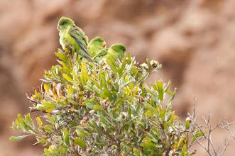 Photo: Mountain Parakeet (Zitronensittich); Valle Cachaquí, ARG