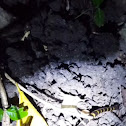 Andaman Banded Krait