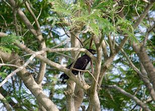 Photo: Águila crestilarga (Lophaetus occipitalis)
