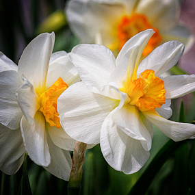 Daffodils by Michael Buffington - Flowers Flower Gardens ( orange, flower garden, nature, green, white, daffodils, yellow, flowers, natural, garden,  )