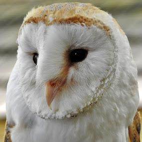 Sová Pálená by Věra Tudy - Animals Birds