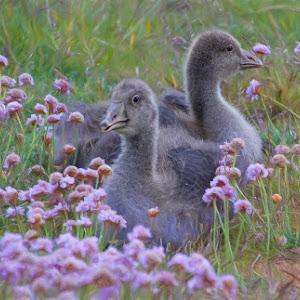 Spring ducklings in Iceland.jpg