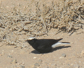 Photo: Monachella nera testabianca | Oenanthe leucopyga | White-crowned Black Wheatear