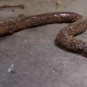 Redworm