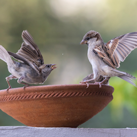Fight for food by Kishore Bakshi - Animals Birds ( feed, fightforfood, sparrow, birds, food, fight,  )