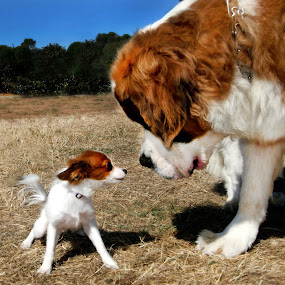 Dual Dogs by Lee McLaughlin - Animals - Dogs Portraits ( tiny, contrast size, huge, canine park, dogs, saint bernard, puppy, big and small, double,  )