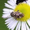 Tarnished Plant Bug (Adult)