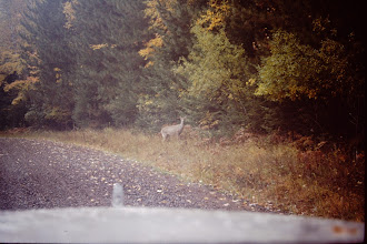 Photo: Deer on road.