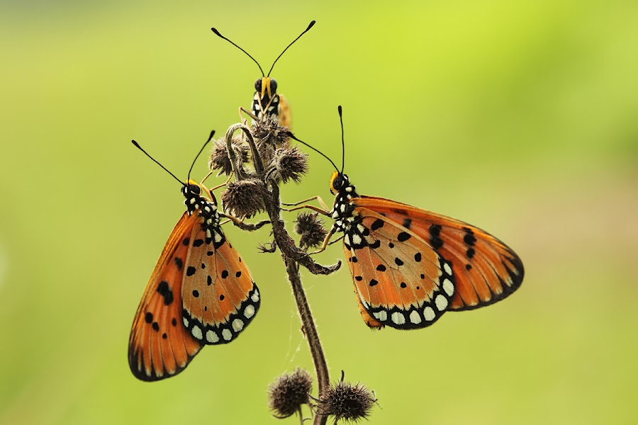 Trio by Robin Lung - Animals Other ( butterfly, macro )