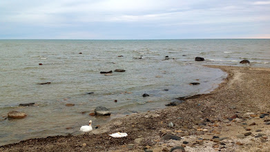 Photo: Swans resting on the shore of Lake Huron