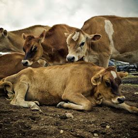 Cow capades by Ben Porway - Animals Other Mammals ( farm, amherst, rural, cows )