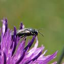 Hylaeus Bee
