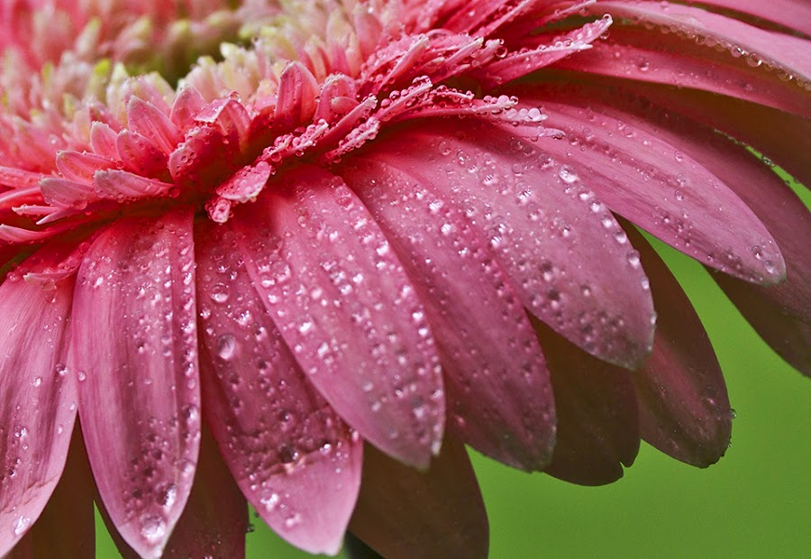 Freshness of the morning... by Citra Hernadi - Nature Up Close Flowers - 2011-2013 ( macro, dew, flower )